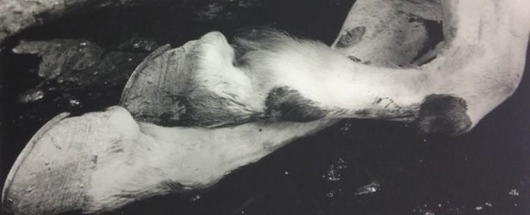 Madame d'Ora, Pferdebeine auf dem Pariser Schlachthof, ab 1946