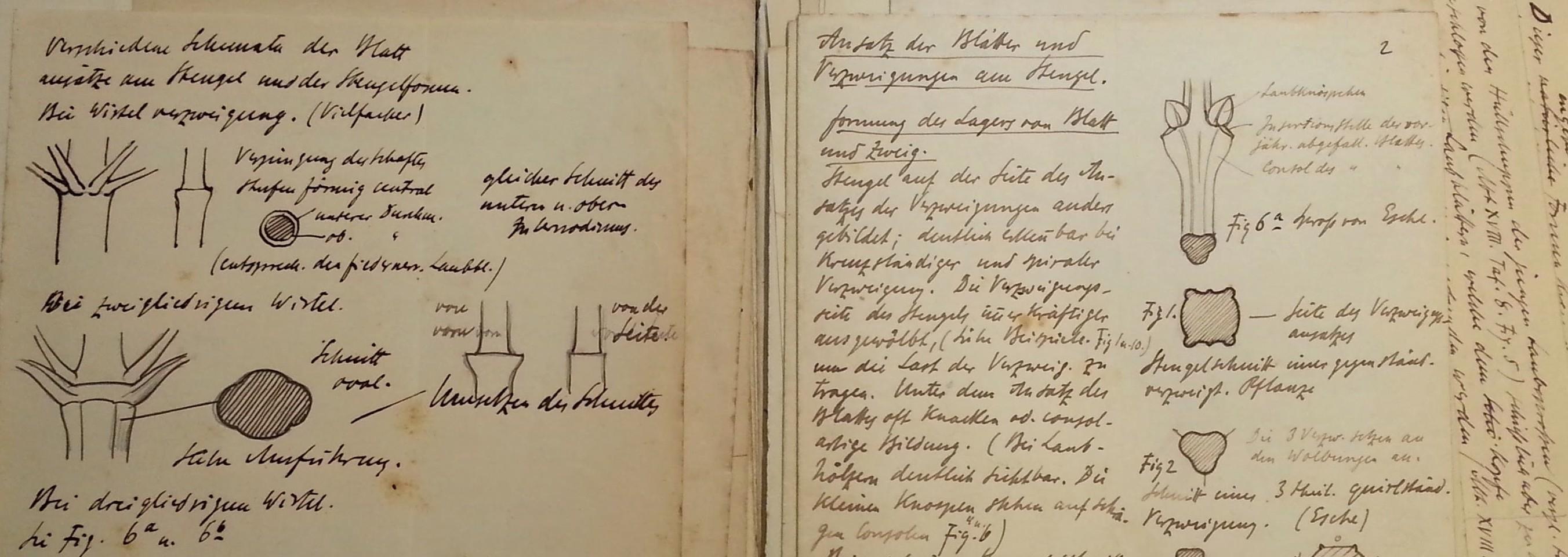 Moritz Meurer, Lehrvortragsmanuskript zum Ansatz von Blättern und Verzweigungen am Stängel (Detail), um 1890, Museum Waldenburg
